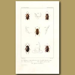 Beetles (Water Beetles)