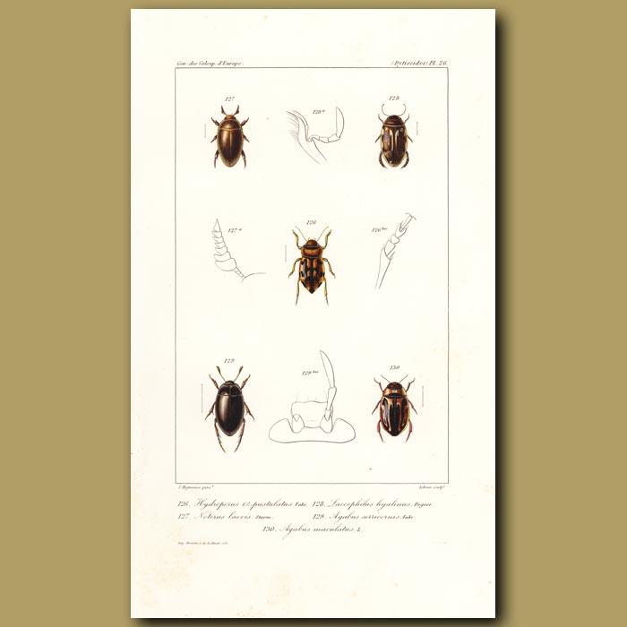 Antique print. Beetles (Water Beetles)