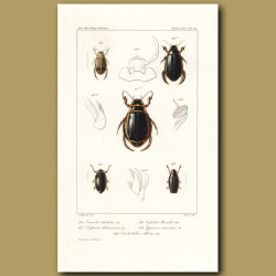 Beetles (Eunectes, Dytiscus, Cybister , Gyrinus, Orectochilus)
