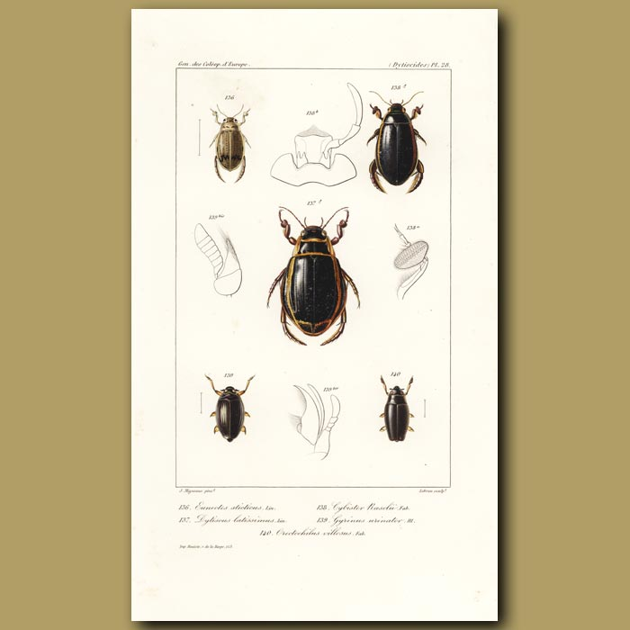 Antique print. Beetles (Eunectes, Dytiscus, Cybister , Gyrinus, Orectochilus)
