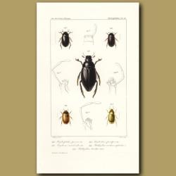 Beetles (Hydrophilus, Hydrous, Hydrobius, Philhydrus)