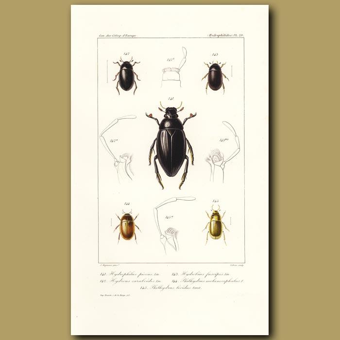 Antique print. Beetles (Hydrophilus, Hydrous, Hydrobius, Philhydrus)