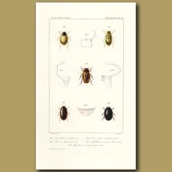 Beetles (Laccobius, Berosus, Limnebius, Cyllidium, Spercheus)
