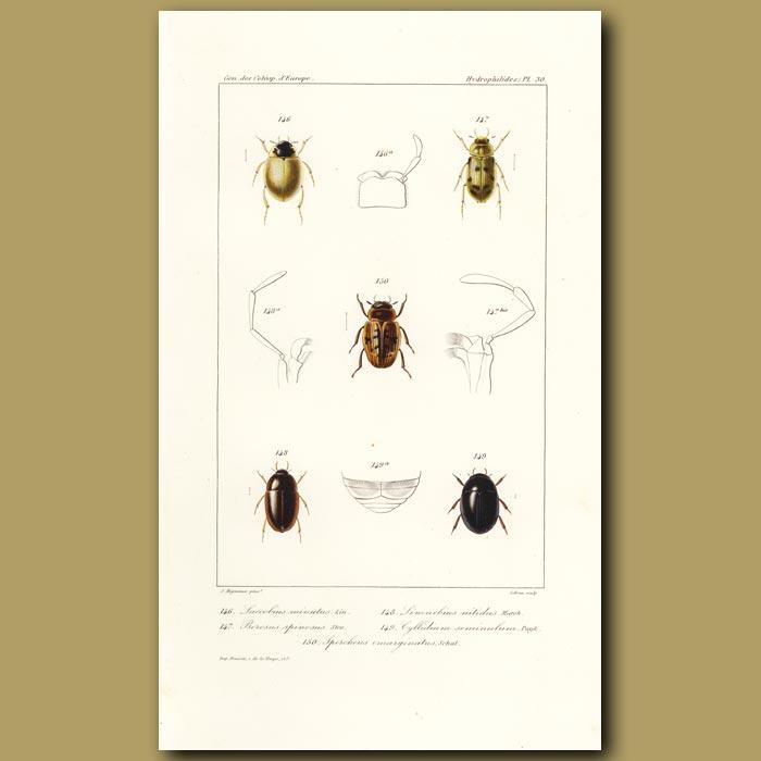 Antique print. Beetles (Laccobius, Berosus, Limnebius, Cyllidium, Spercheus)