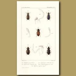 Beetles (Helophorus, Hydrochus(Elongatus, Nitidicollis), Ochthebins,)