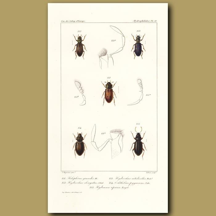 Antique print. Beetles (Helophorus, Hydrochus(Elongatus, Nitidicollis), Ochthebins,)