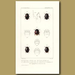 Beetles (Cyclonotum, Sphaeridium, Ceroyon, Megasternum, Cryptopleurum)