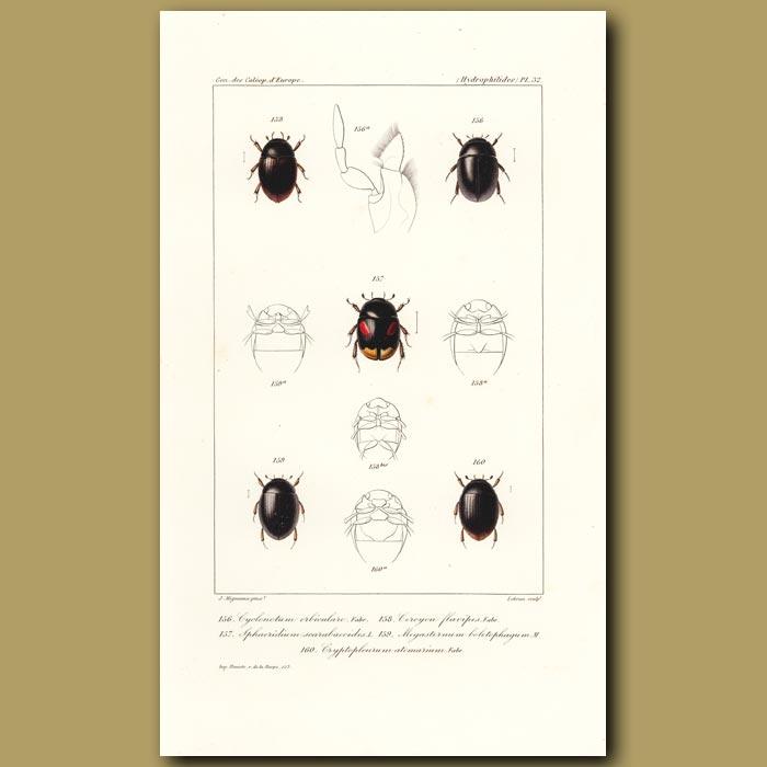 Antique print. Beetles (Cyclonotum, Sphaeridium, Ceroyon, Megasternum, Cryptopleurum)