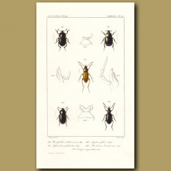 Beetles (Necrophilus, Sphaerites, Agyrtes, Pteroloma, Catops)