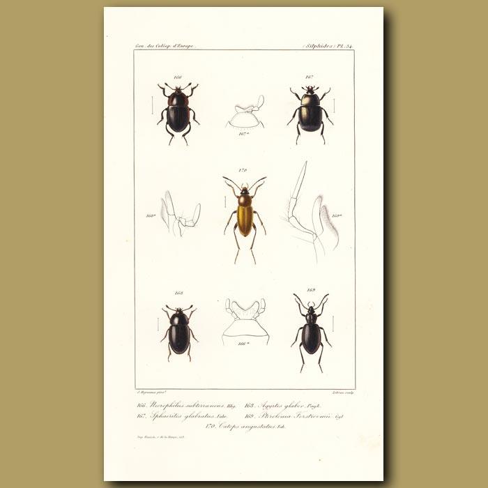 Antique print. Beetles (Necrophilus, Sphaerites, Agyrtes, Pteroloma, Catops)