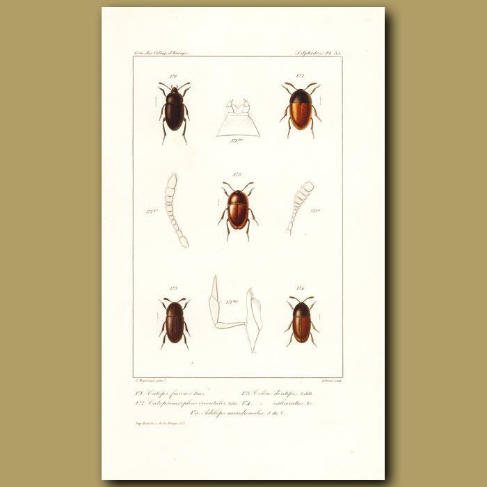 Antique print. Beetles (Catops, Catopsimorphus, Colon, Adelops)