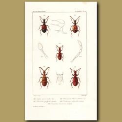 Beetles (Tyrus, Ctenistes, Chennium, Trichonyx, Trimium)