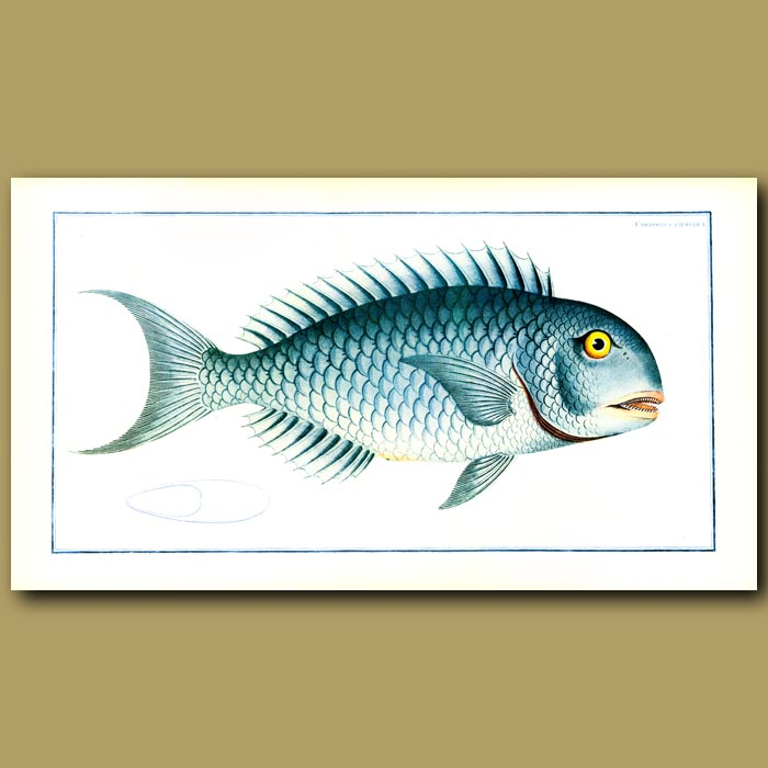 Antique print. The Blue Parrot Fish