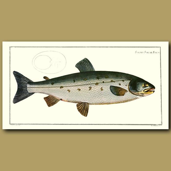 Antique print. The Salmon