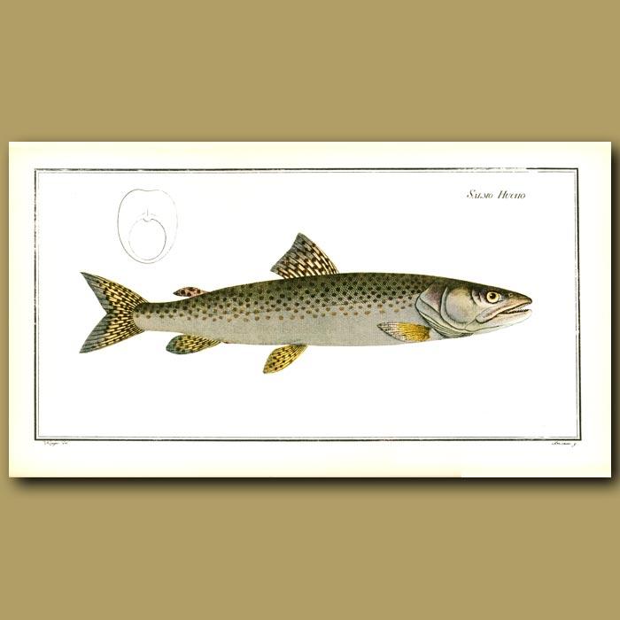 Antique print. Freshwater Salmon