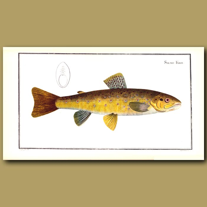 Antique print. The Brown Trout
