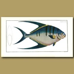 The Moon Fish or Pompano