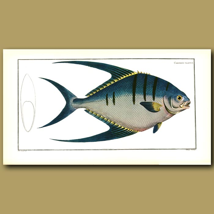 Antique print. The Moon Fish or Pompano