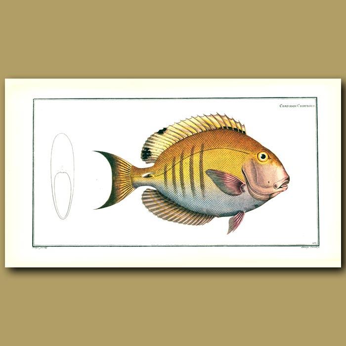Antique print. The Surgeon Fish