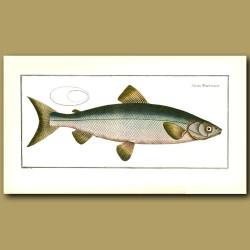 The Blue Salmon