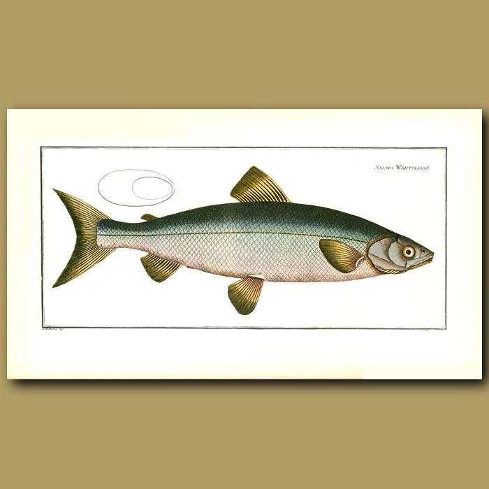 Antique print. The Blue Salmon