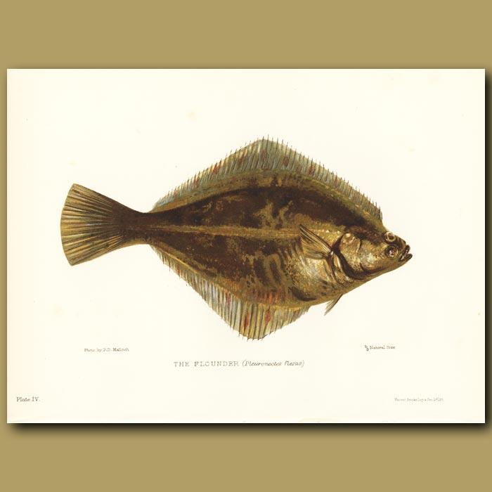 Antique print. The Flounder
