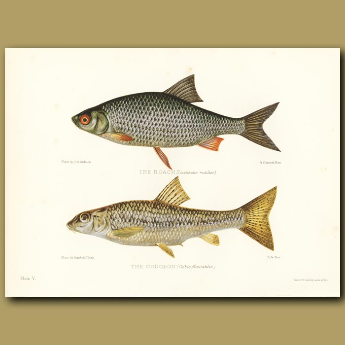Antique print. The Roach and The Gudgeon