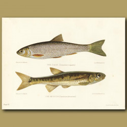 The Dace and The Minnow