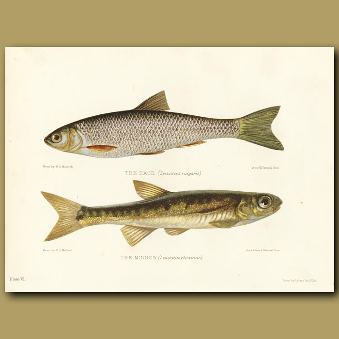 Antique print. The Dace and The Minnow