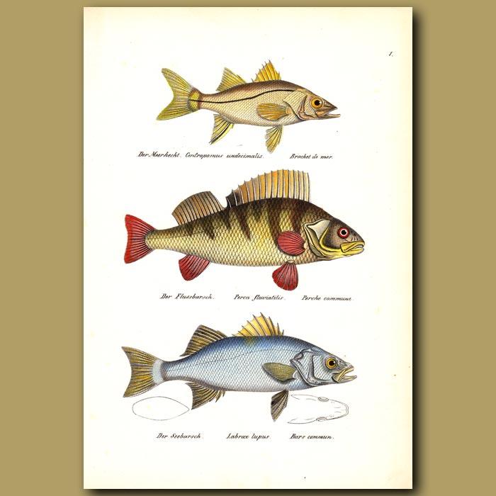 Antique print. Common Snook, European Perch and European Seabass