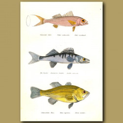 Red Snapper, Pike Perch Or Zander And Large-Mouth Bass
