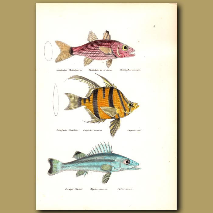 Antique print. Tiger Cardinal, Old Wife Butterfly Fish and Saw-edged Perch