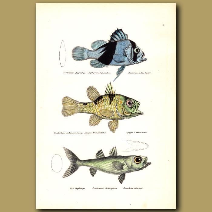 Antique print. Barred Soapfish, Three Spot Cardinal, Large-eyed Pomatome