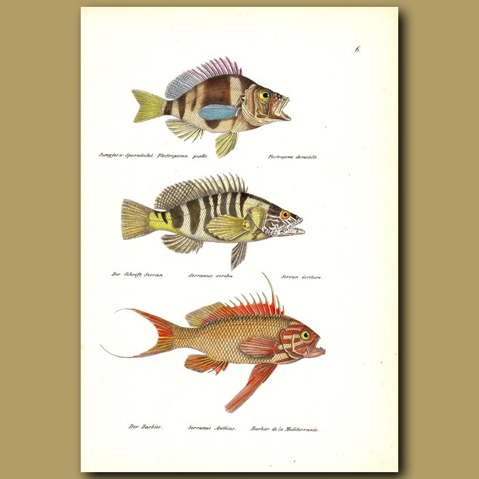 Antique print. Painted Comber, Swallowtail and Seaperch