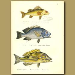Ruffe, Blue-Spotted Sea-Perch