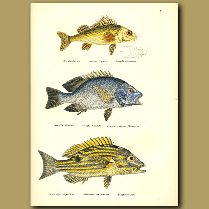 Antique print. Ruffe, Blue-spotted Sea-perch