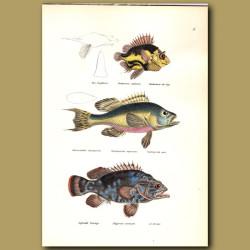 Cape Armourhead, Black Seabass And Atlantic Wreckfish