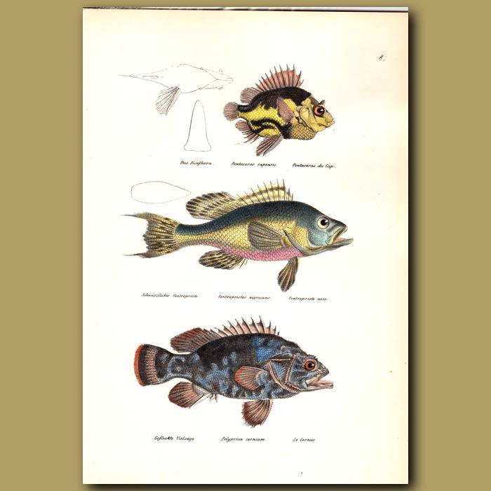 Antique print. Cape Armourhead, Black Seabass and Atlantic Wreckfish