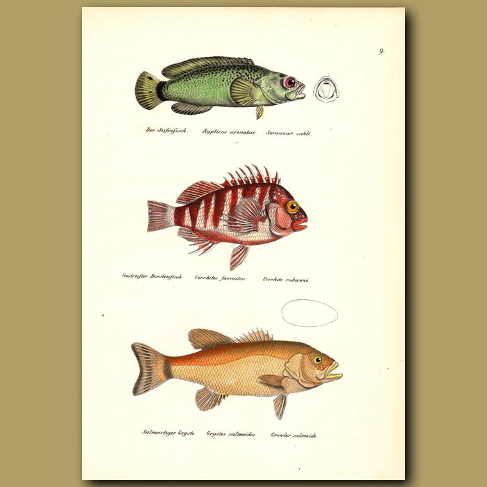 Antique print. Red-barred Hawkfish, Small-mouth Bass
