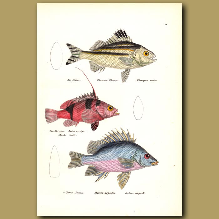 Antique print. Large-scale Terapon, Silver Grunter