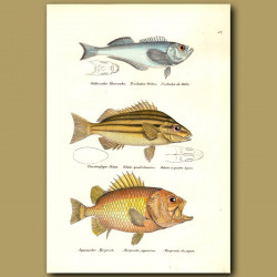 Pacific Sandfish, Four-Lined Terapon, Brocade Perch