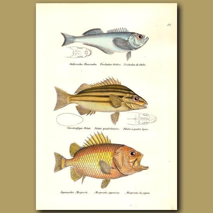 Antique print. Pacific Sandfish, Four-lined Terapon, Brocade Perch