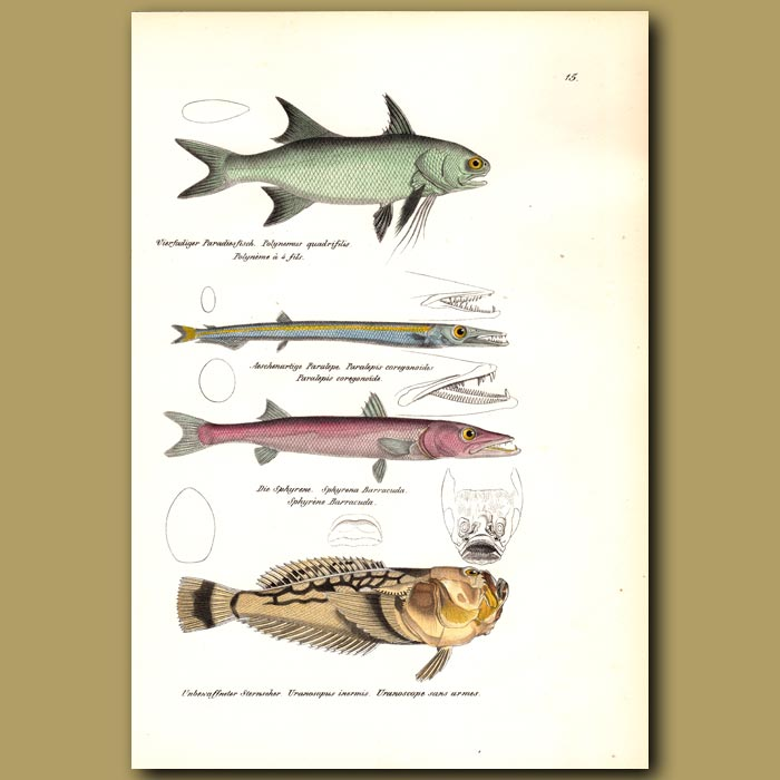 Antique print. Threadfin, Sharpchin Barracudina, Great Barracuda