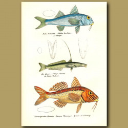 Goatfish, Gangetic Whiting And Southern Goatfish