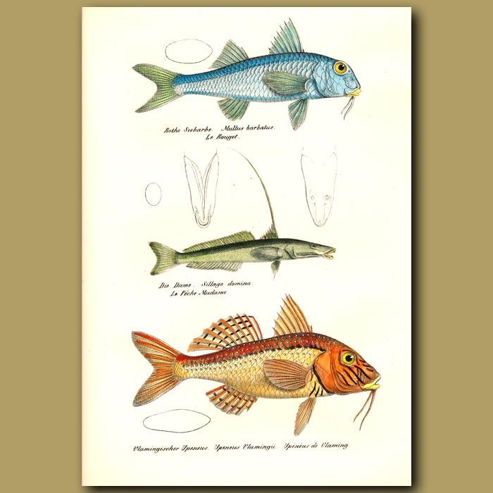 Antique print. Goatfish, Gangetic Whiting and Southern Goatfish