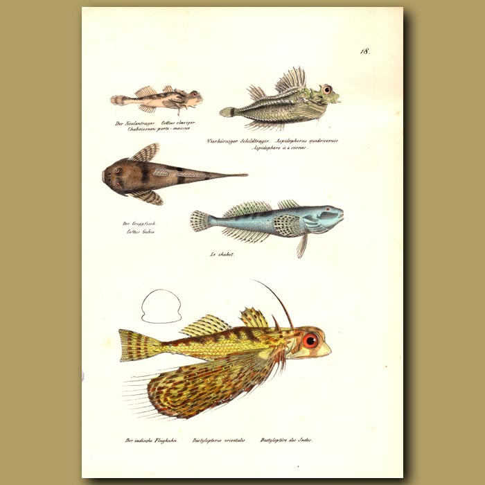 Antique print. European Bullhead, Oriental Flying Gurnard