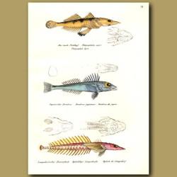 Olive-Tail Flathead, Mail-Cheeked Fish