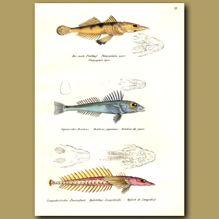 Antique print. Olive-tail Flathead, Mail-cheeked Fish
