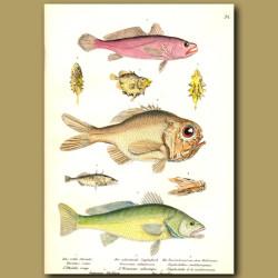 Rosy Jewfish, Ox-Eyed Oreo, Mediterranean Slimehead