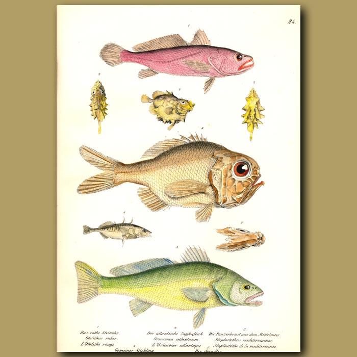 Antique print. Rosy Jewfish, Ox-eyed Oreo, Mediterranean Slimehead